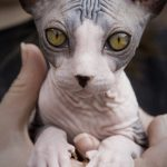 The Hairless Sphynx