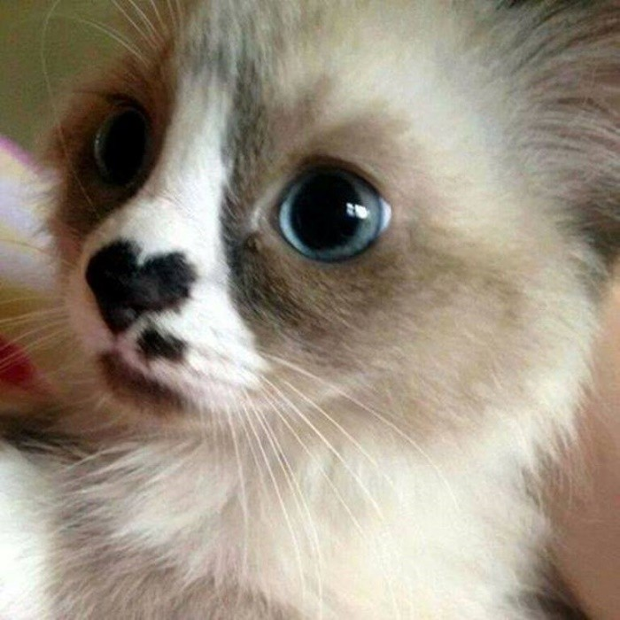 Cat with Heart on Nose