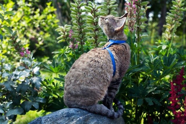 Devon Rex Exploring Outside on a Leash