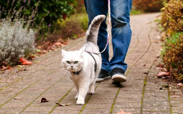 Walking the Cat with Leash and Harness
