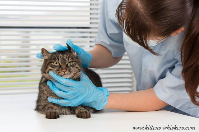 Vet Soothing Cat Before Exam