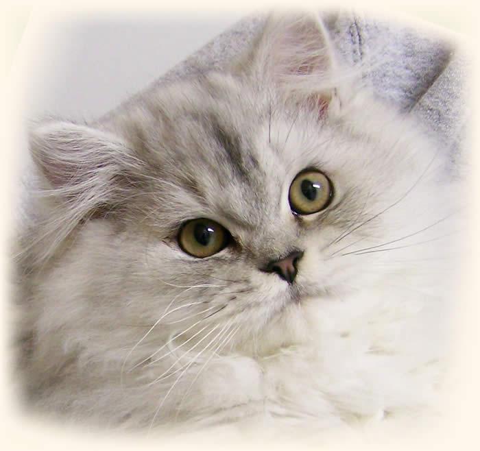 Doll Faced Himalayan Kitten